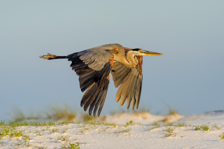 Great Blue Heron, Ft. Pickens (FL), Dec. 2011