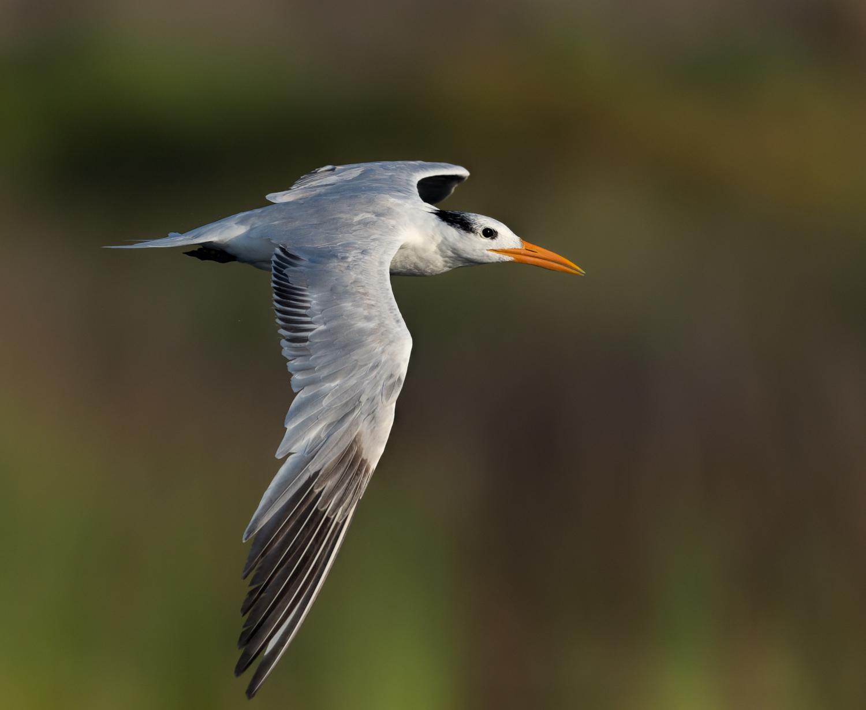 Royal Tern, Ft. Pickens (FL), August 2014