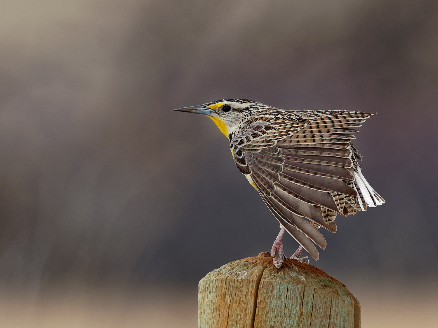 Western Meadowlark, Roxborough Park Rd (CO), April 2018