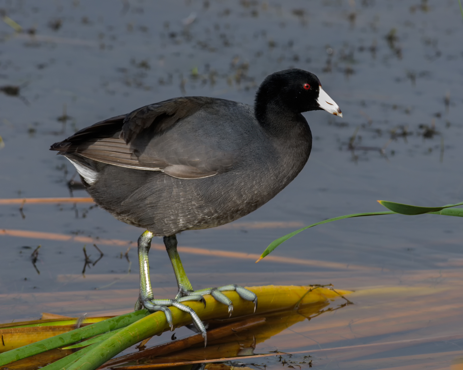 American Coot, Viera Wetlands (FL), Jan. 2013