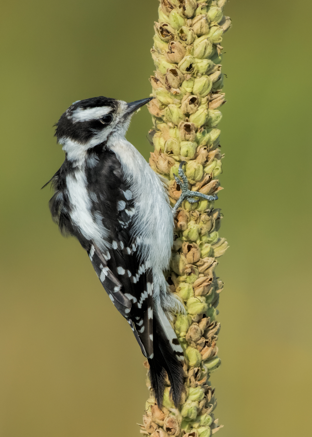 Downy Woodpecker, El Paso County (CO), August 2015