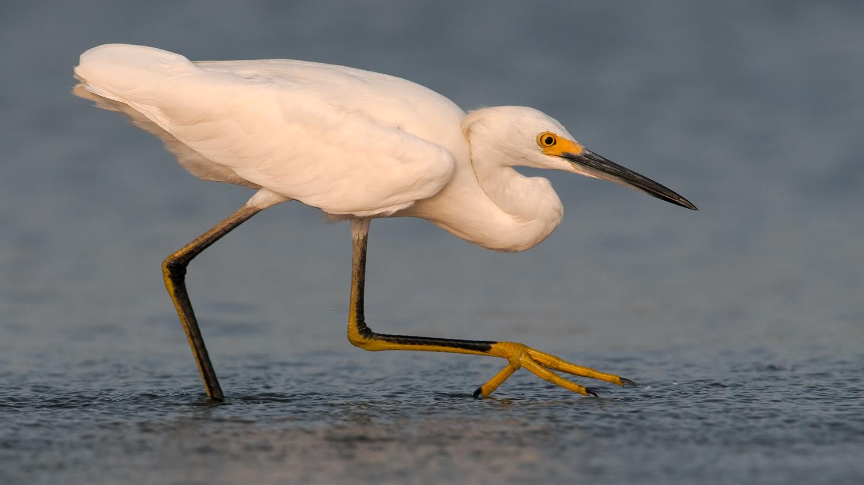Snowy Egret, Opal Beach (FL), July 2010
