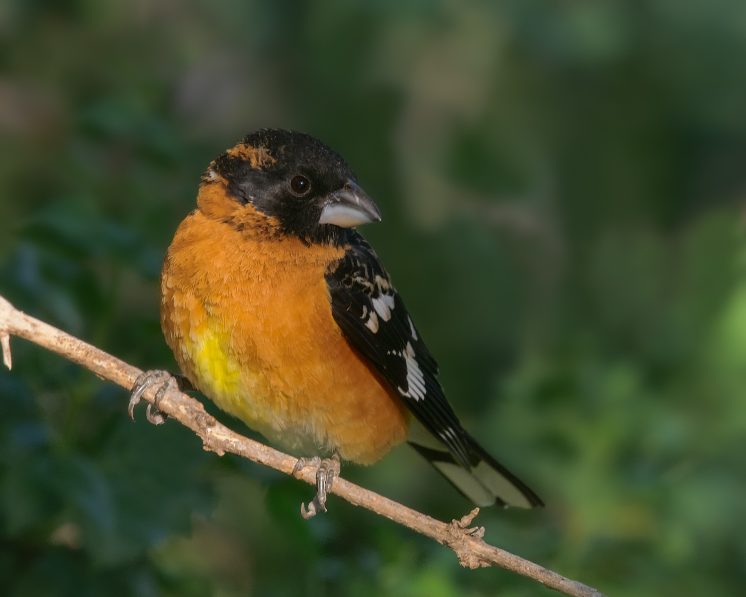 Black-beaked Grosbeak, Patagonia (AZ), April 2011
