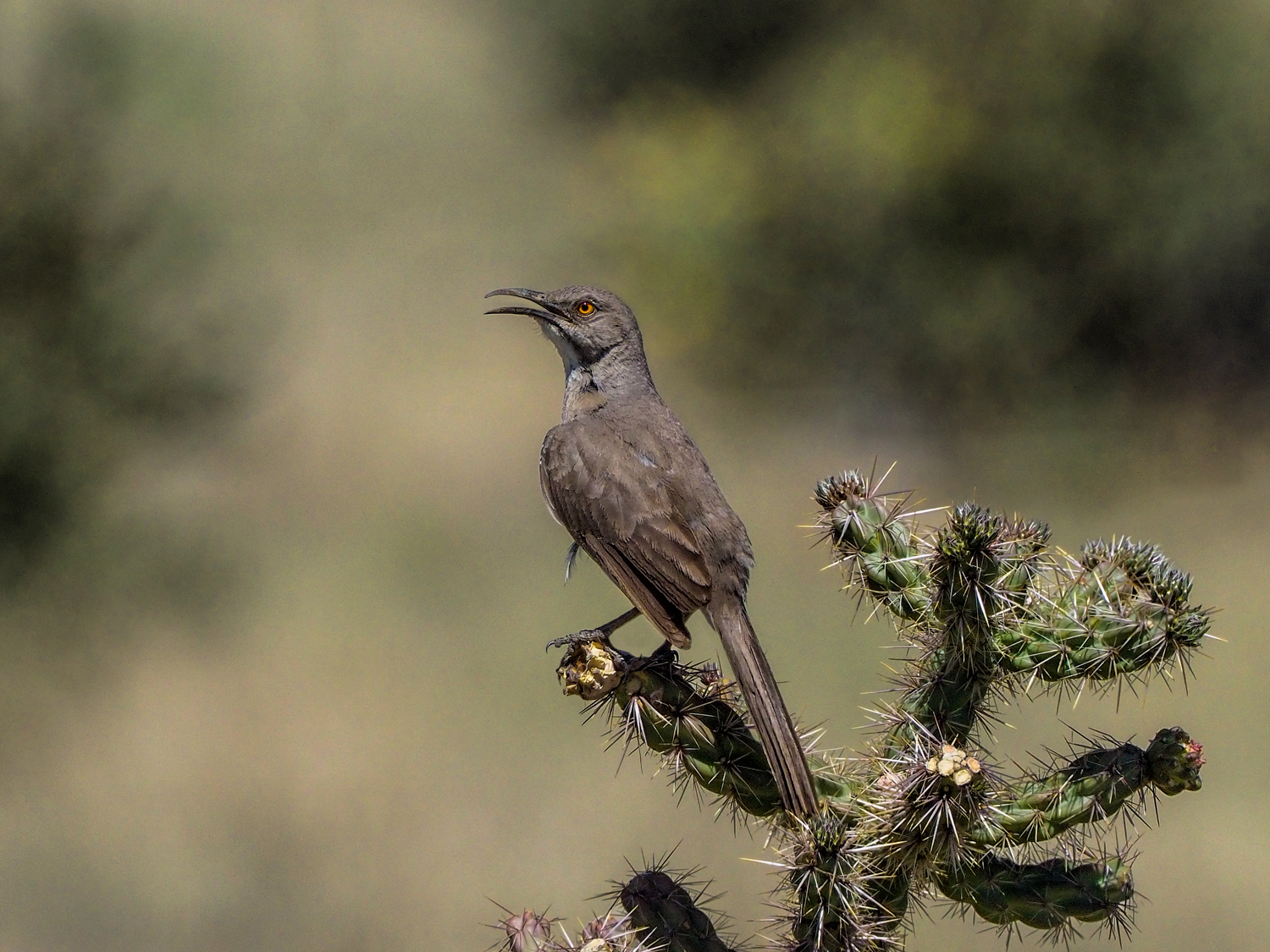 Curve-billed Thrasher, El Paso County (CO), May 2018