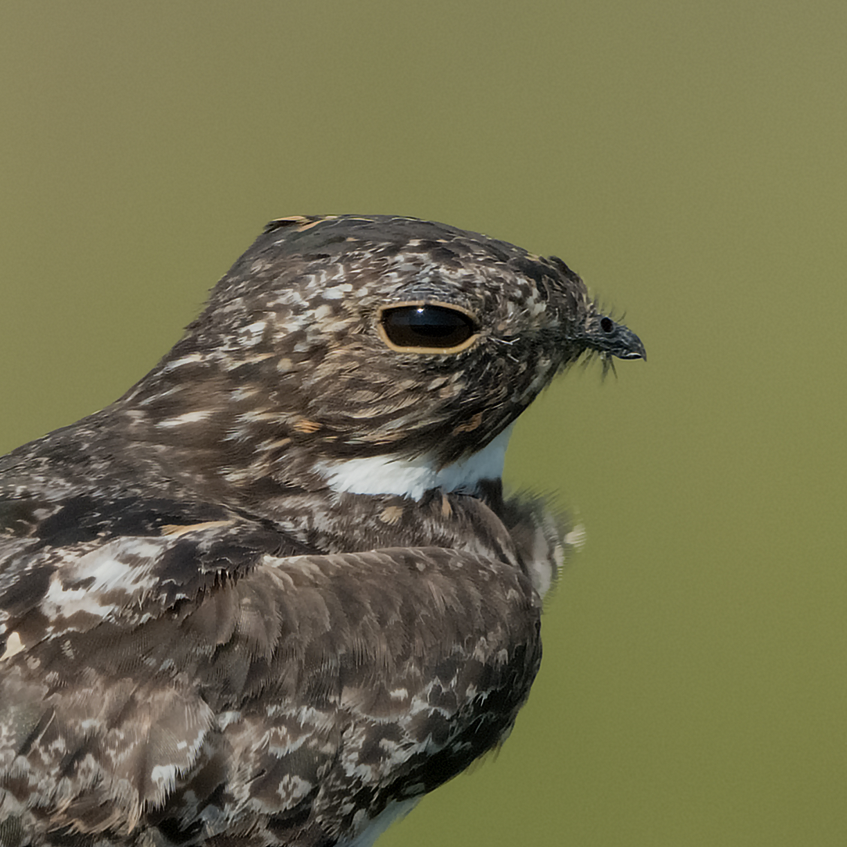 Common Nighthawk, Anahuac NWR (TX), August 2016