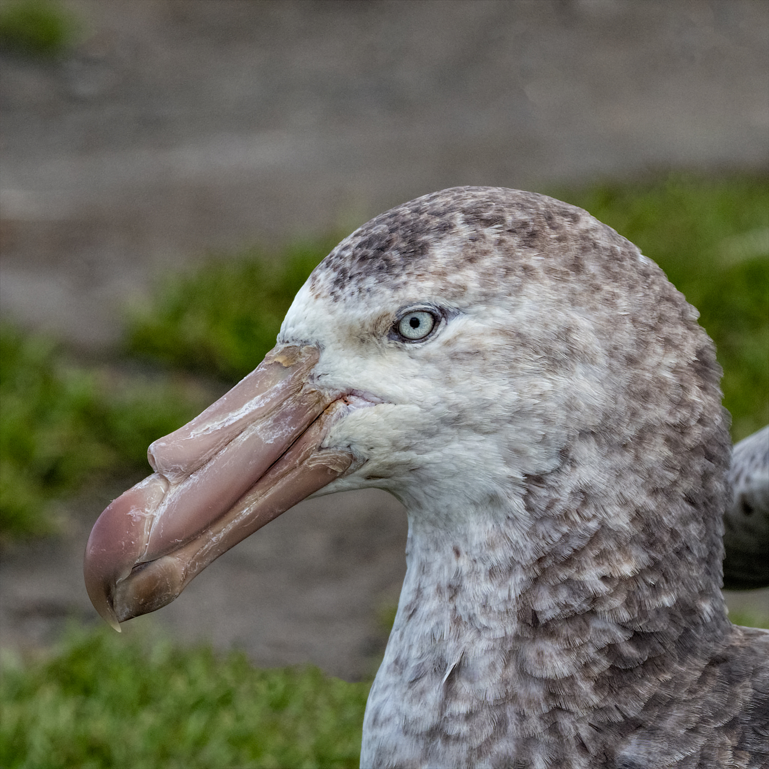 Giant Petrel, Saint Andrews Bay, South Georgia, Nov. 2018
