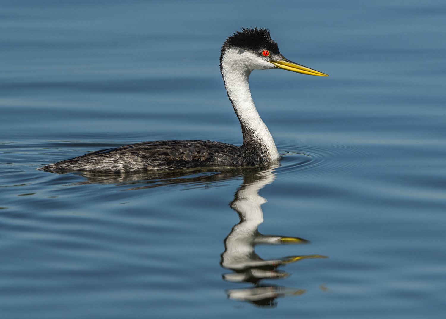 Western Grebe, Barr Lake State Park (CO), June 2016