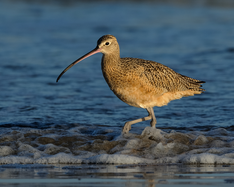 Long-billed Curlew, Bolivar Peninsula (TX), Nov. 2013