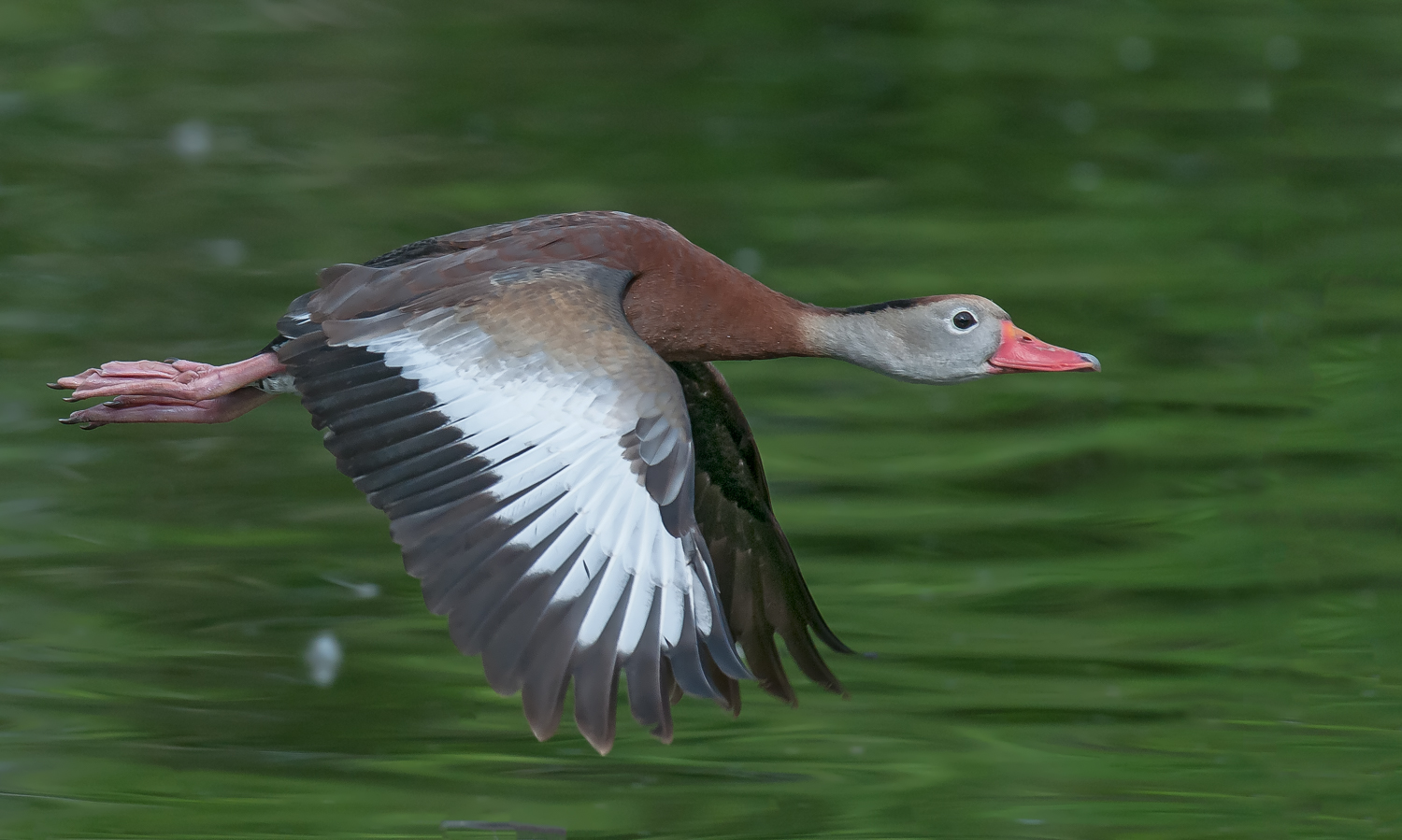Black-bellied Whistling Duck, New Orleans (LA), March 2012