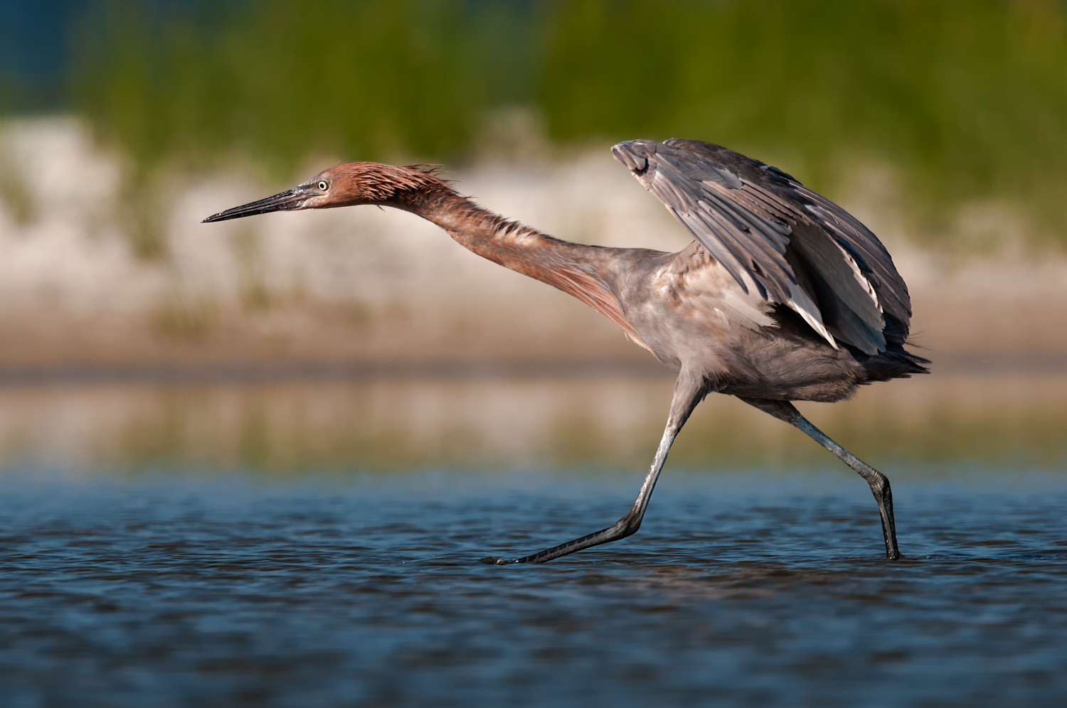 Reddish Egret, Opal Beach (FL), July 2011