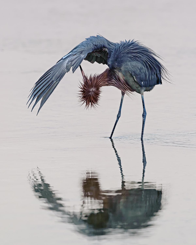Reddish Egret, Sanibel Island (FL), Feb. 2012