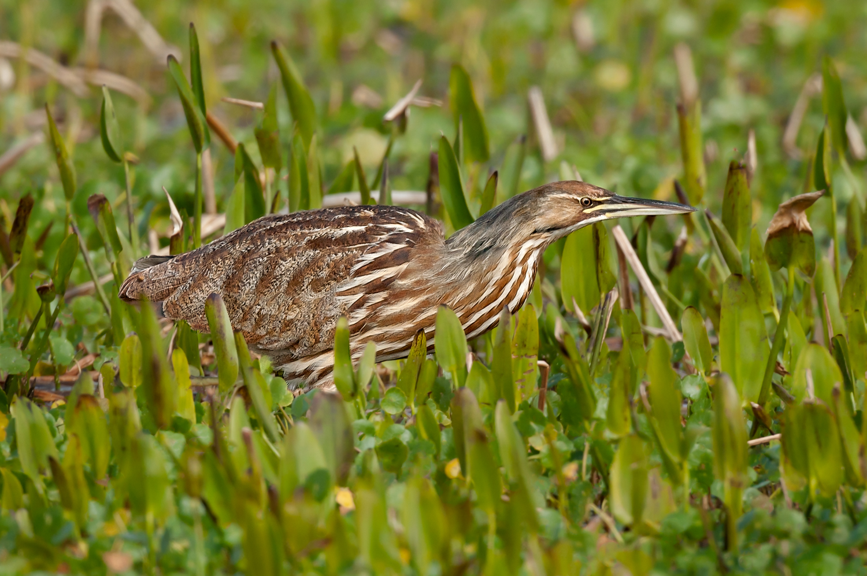 American Bittern, Viera Wetlands (FL), Feb.  2010