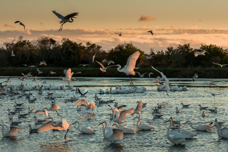 Egrets, Gulls, White Pelicans, Merritt Island NWR (FL), Jan. 2014