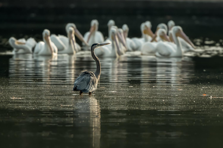 Great Blue Heron, White Pelicans, Wheeler NWR (AL). Oct.  2016