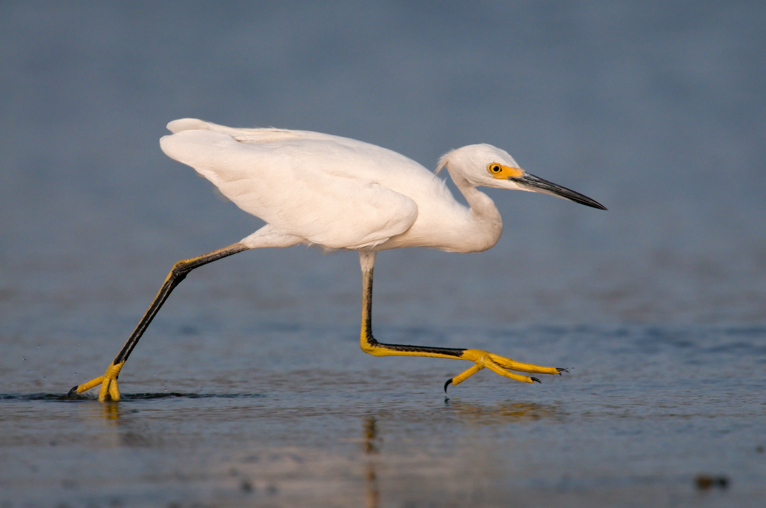 Snowy Egret, Opal Beach (FL), July 2010