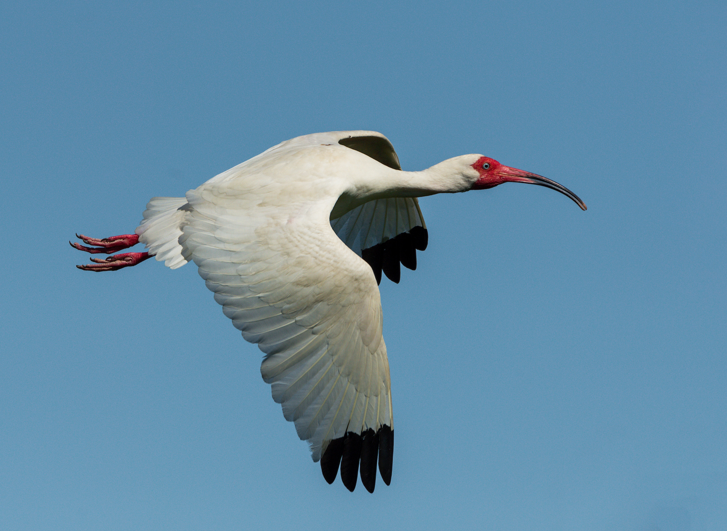 White Ibis, Jefferson Island (LA), May 2016