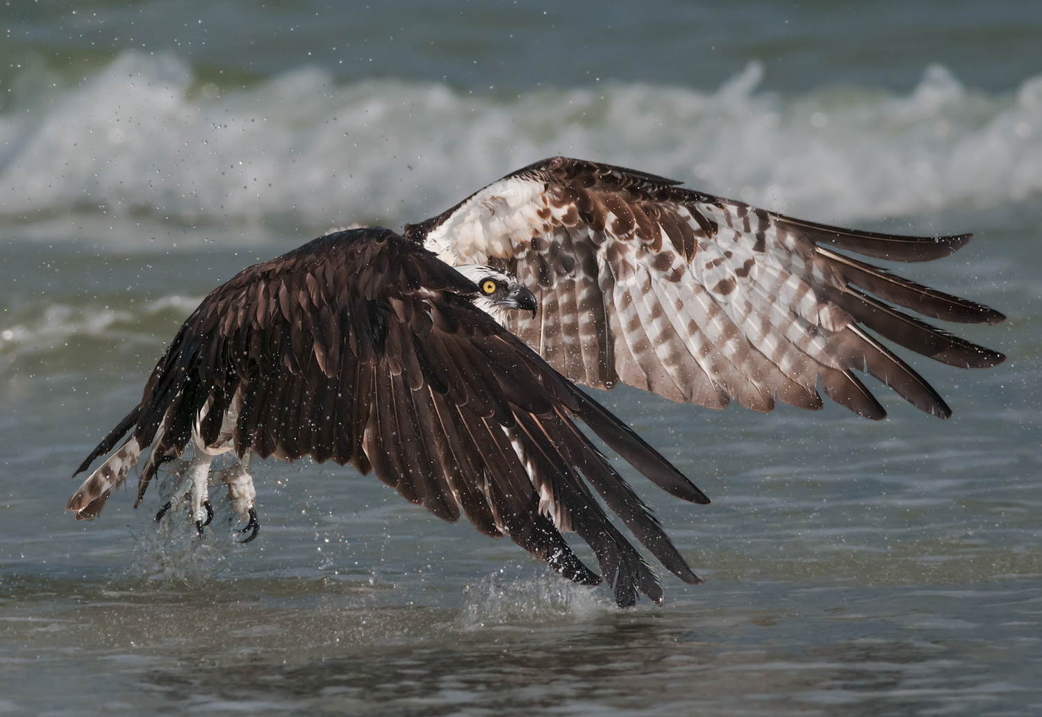 Osprey, Sanibel Island (FL), Feb. 2013