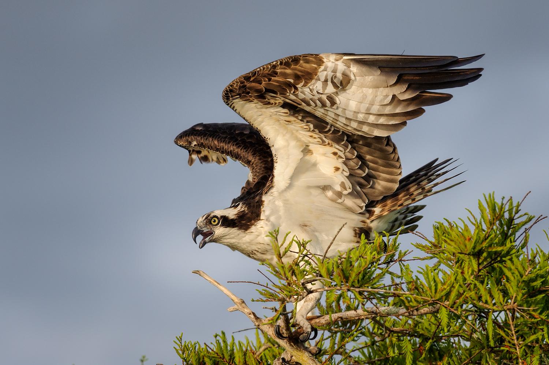 Osprey, Lake Blue Cypress (FL), March 2013