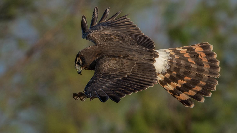 Northern Harrier, Bolivar Peninsula (TX), Nov. 2015
