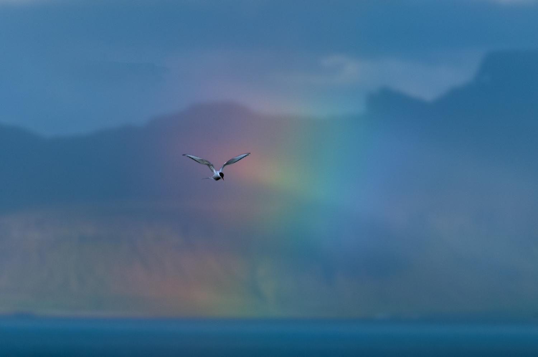 Arctic Tern, Iceland, June 2009