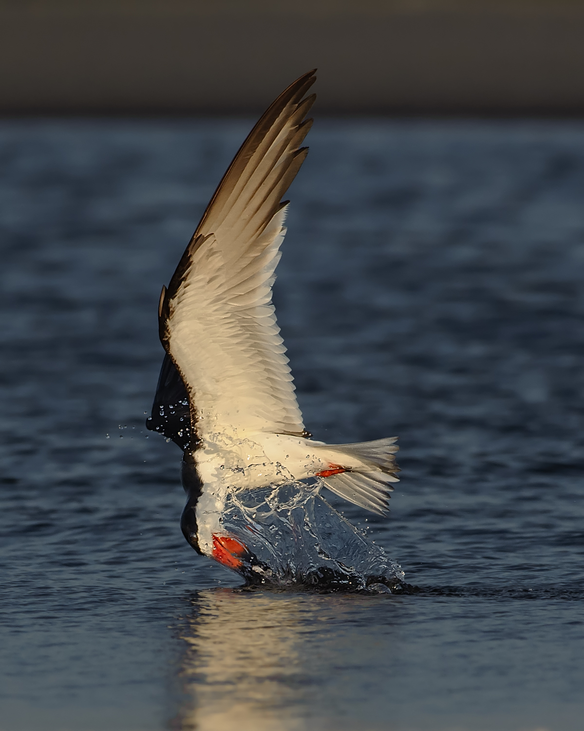 Black Skimmer, Ft. Pickens (FL), May 2012