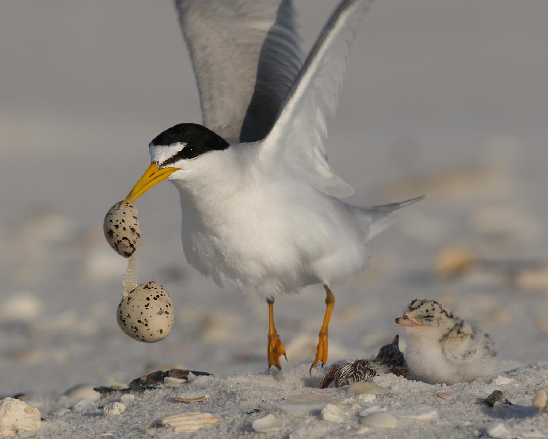 Least Tern, Ft. Pickens (FL) June 2010