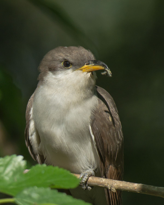 Yellow-billed Cuckoo, High Island Smith Oaks (TX), April 2013