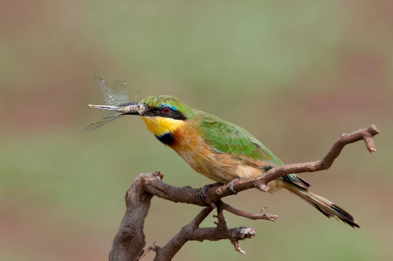 Little Bee-eater, Manyara National Park, Tanzania, Feb. 2011