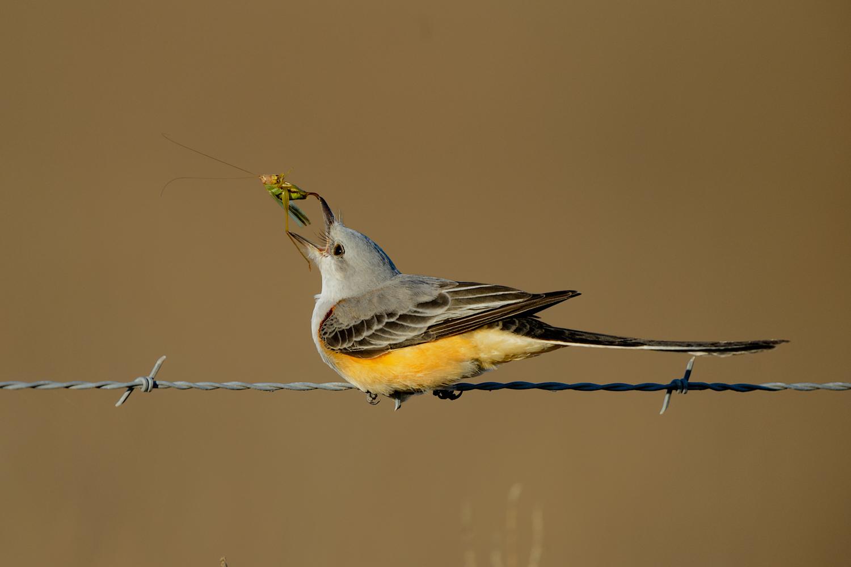 Scissor-tailed Flycatcher, Anahuac NWR (TX), Nov. 2014