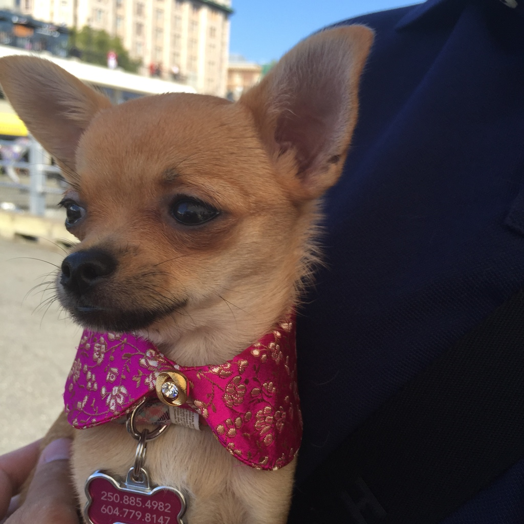 Chihuahua with collar.jpg