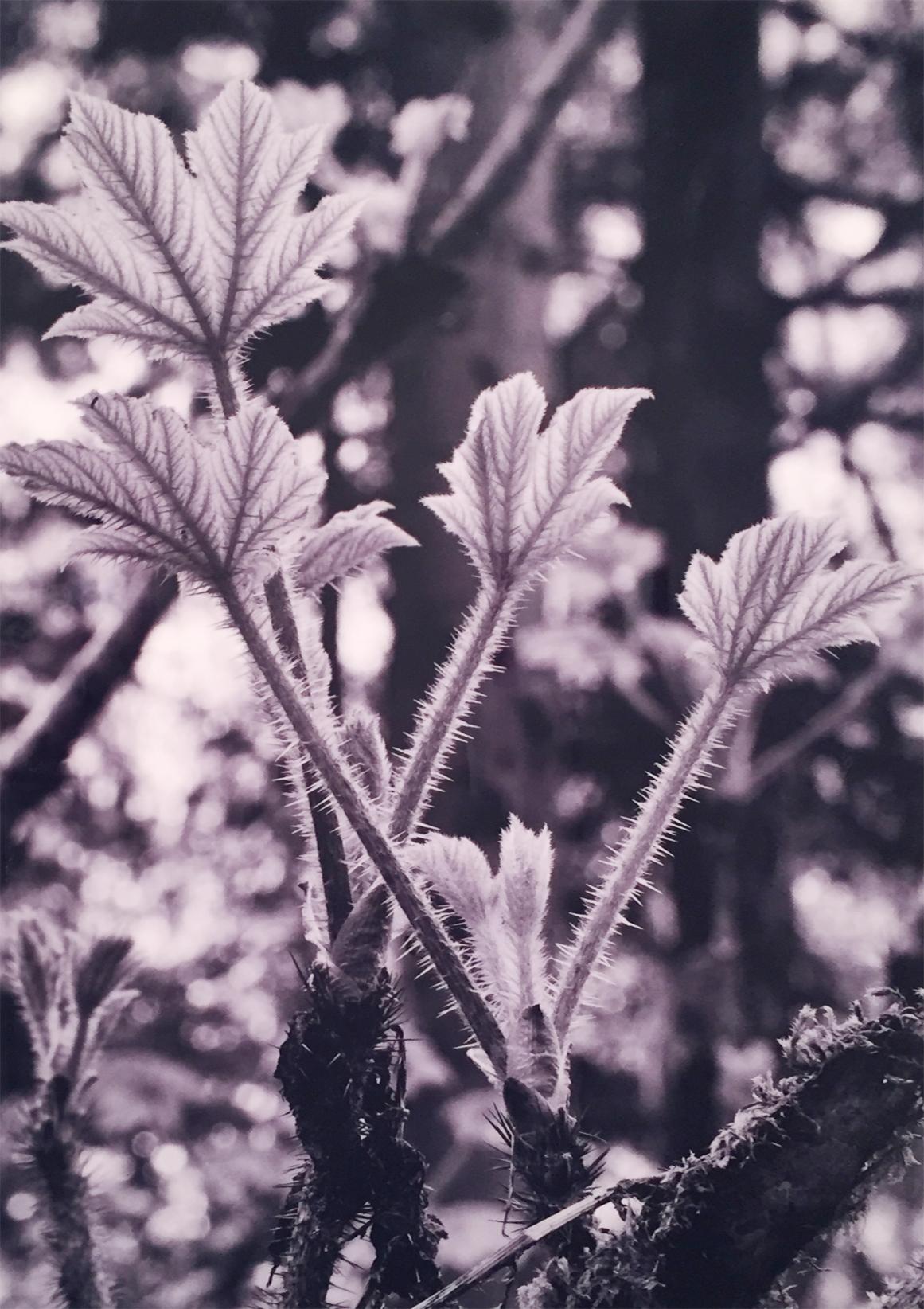 Physocarpus   Ray Redd