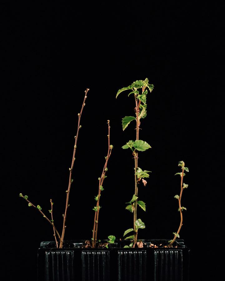 Betula nana // ©Katie Blair Matthews