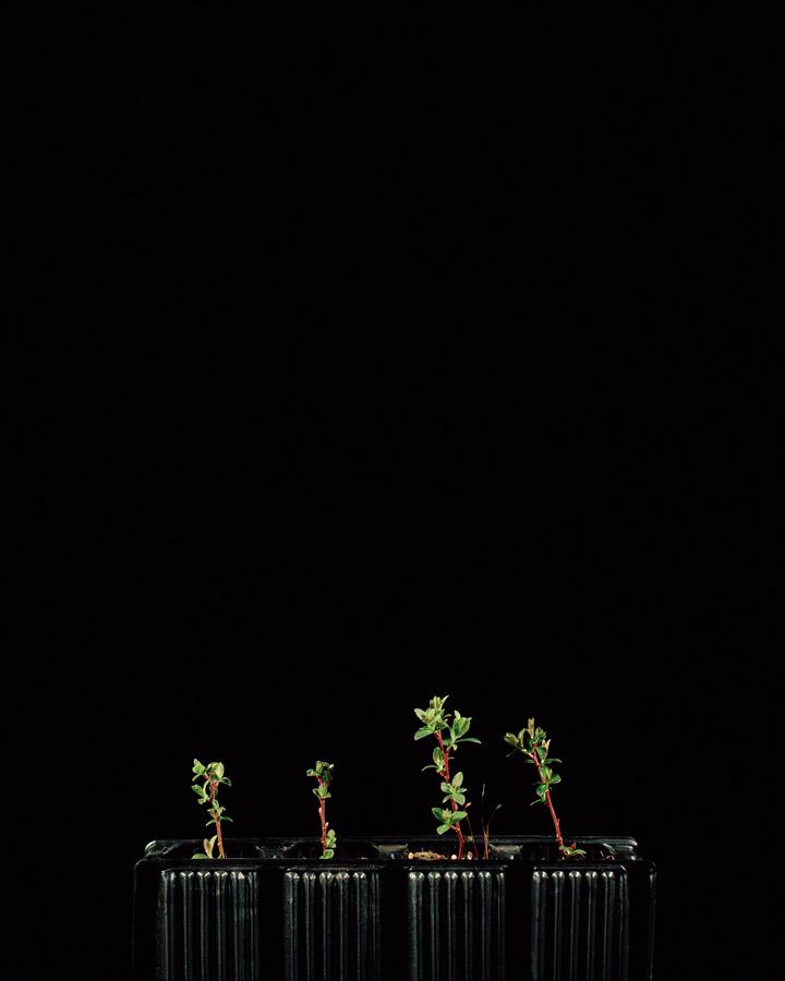 Salix aurita // ©Katie Blair Matthews