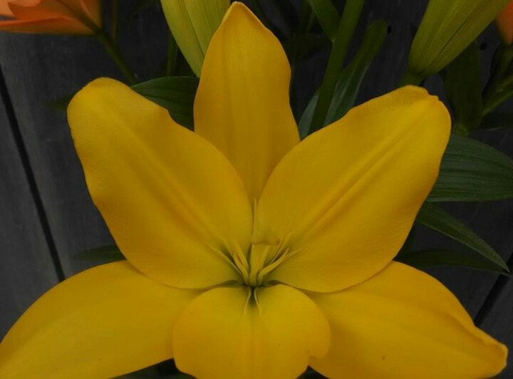 ASIATIC - yellow - $14.00 - 10 stems