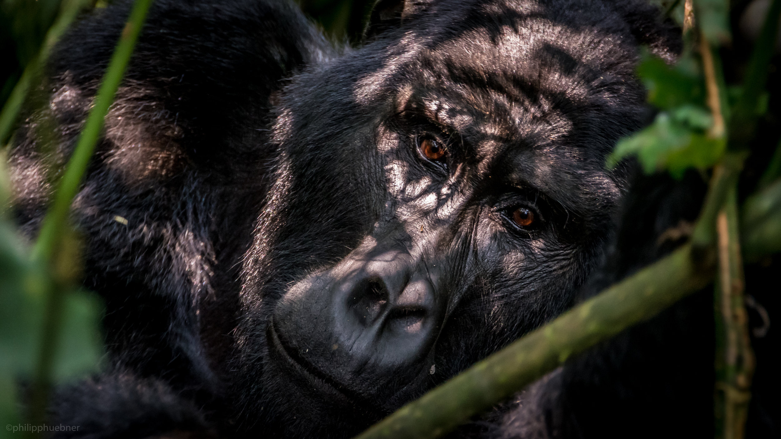 Uganda 2016   6 weeks here, besides work commitments in Mbarara and Arua I was able to visit the mountain gorillas in Bwindi Impenetrable Forest, drive through the Elizabeth National Park and almost got a membership to the Arua Golf Club.