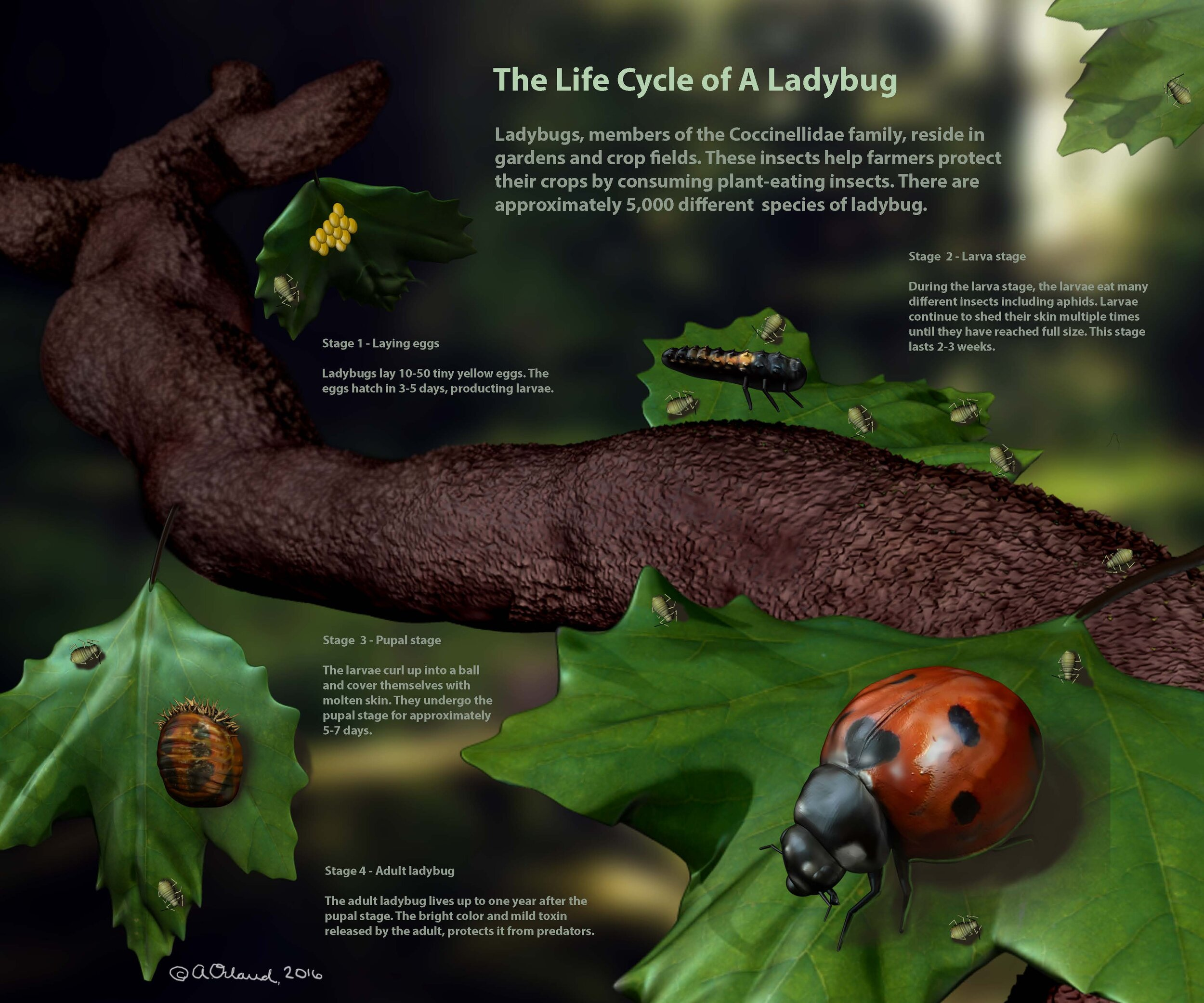 Figure 4.  The Life of a Lady Bug