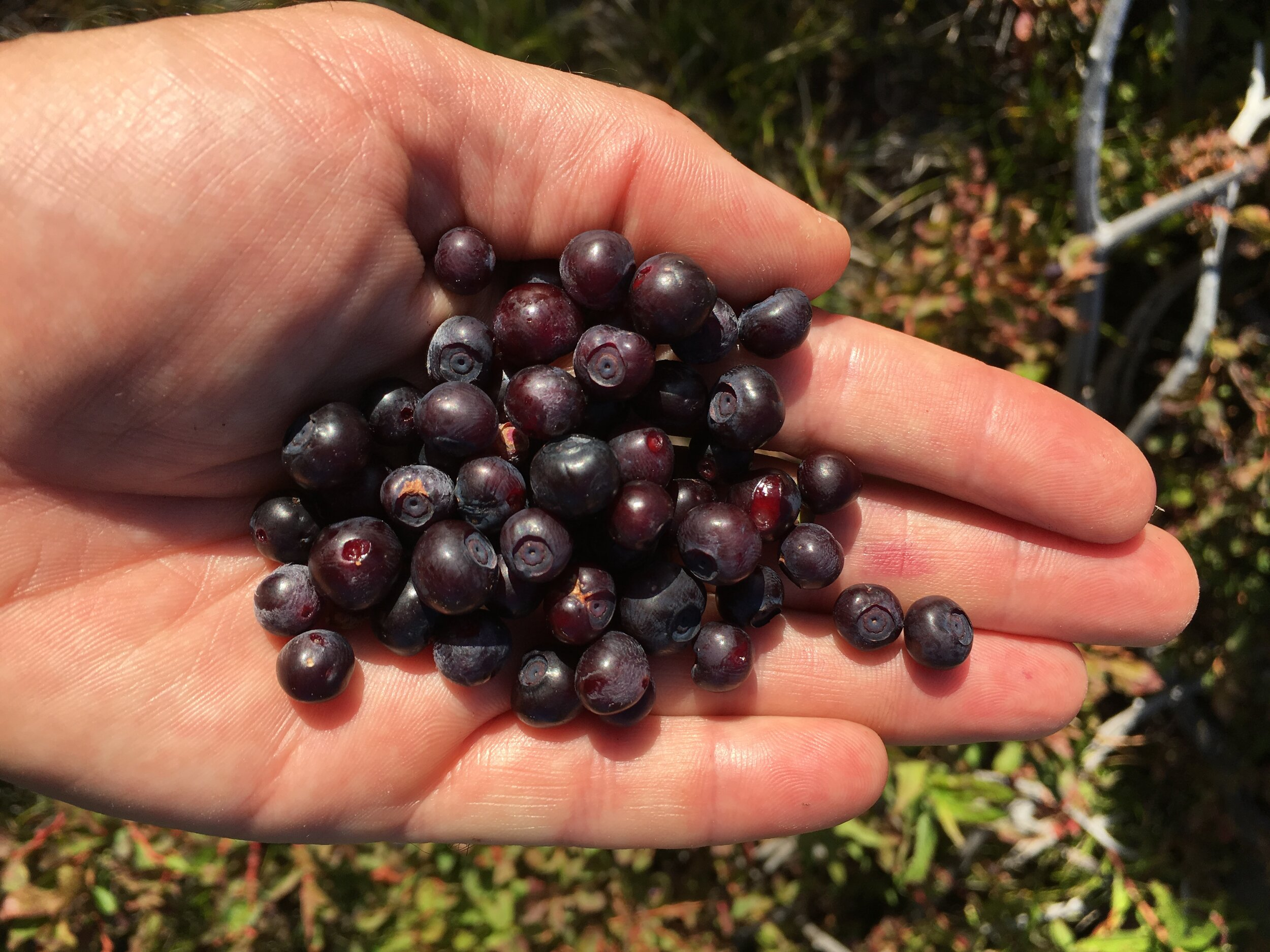 Huckleberries_Fall Gathering.JPG