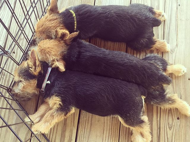 Three sweet sisters, snoozing in the Texas heat. #puppy #norwichterrier #akcnorwichterrier