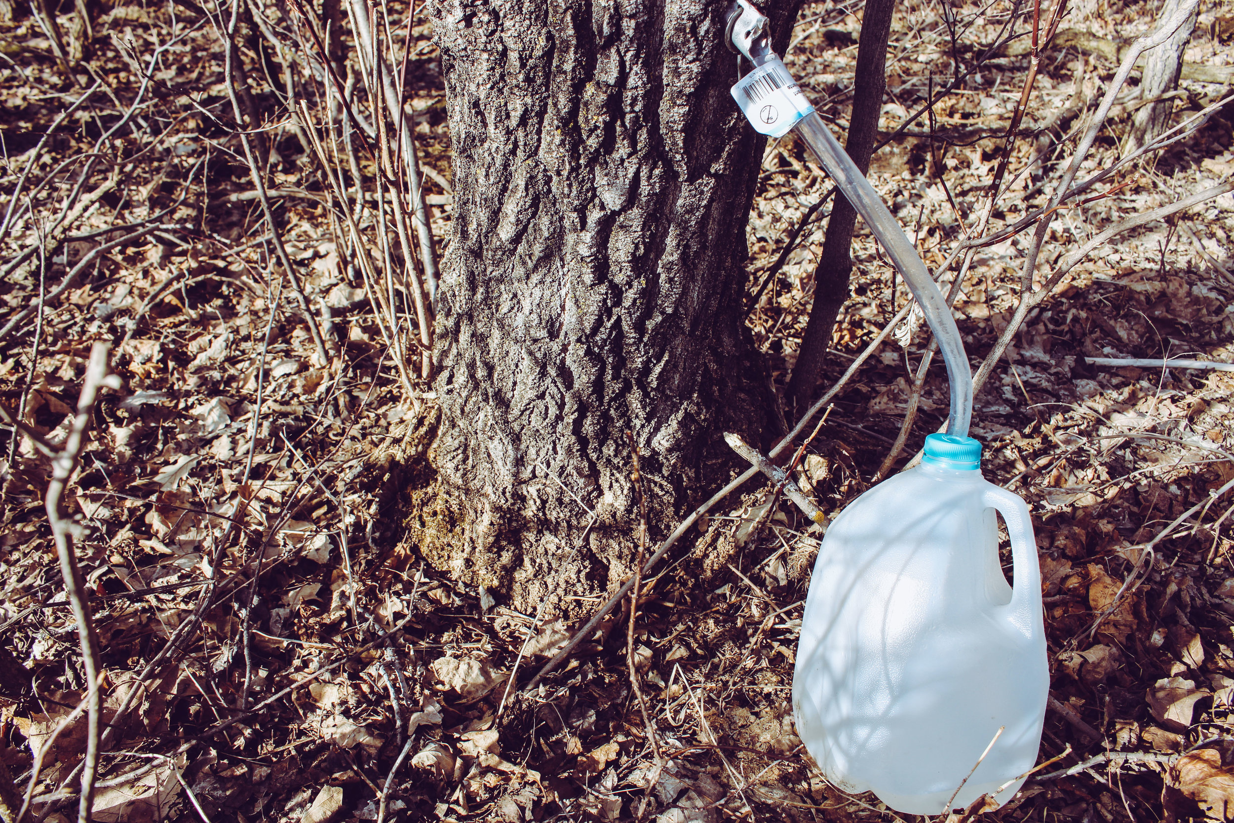 The tree-to-tube-to-jug system means less debris in the collected sap.