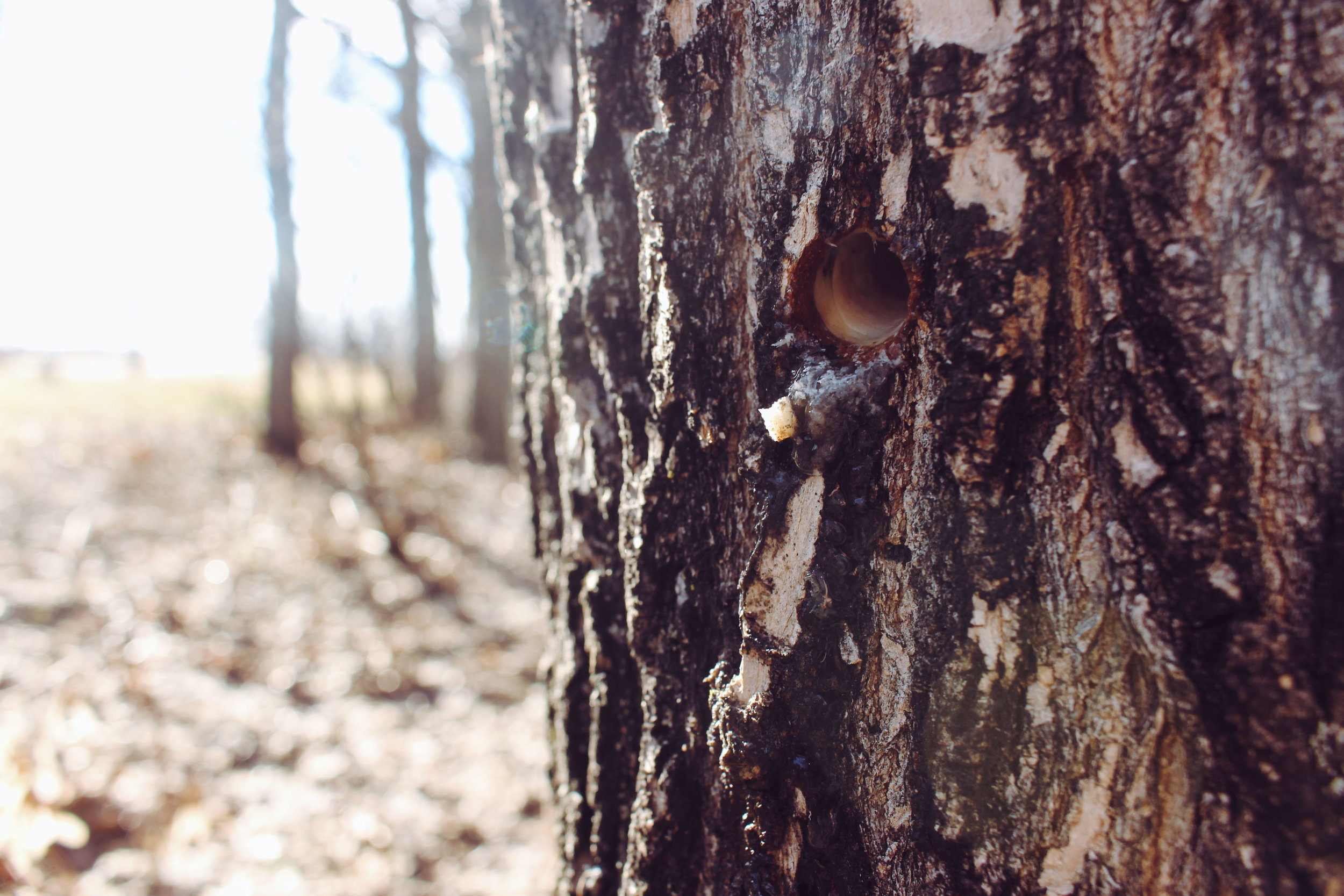Removing the tap right after sap-collecting season is over allows the tree to heal.