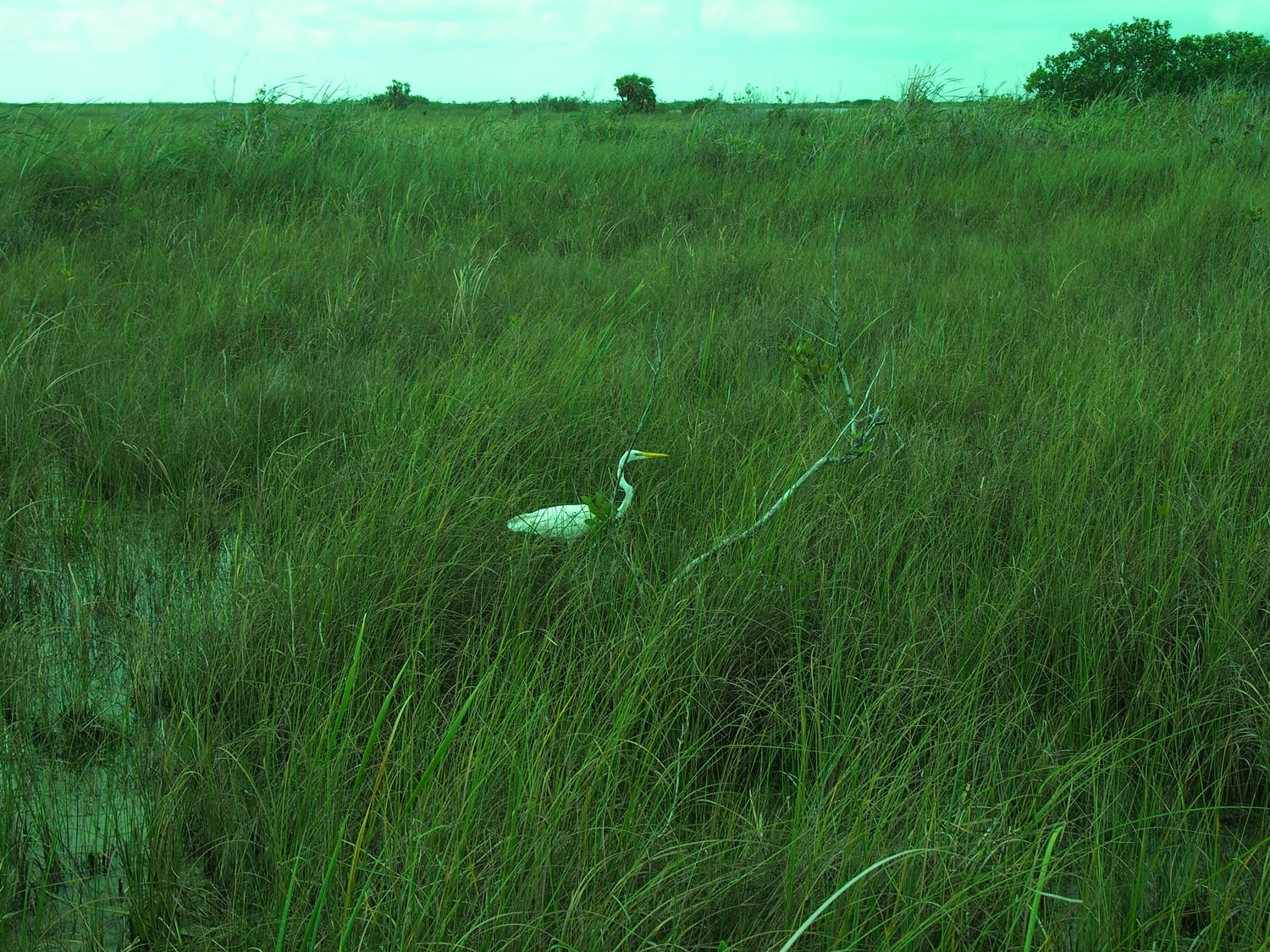Try to spot a white egret!