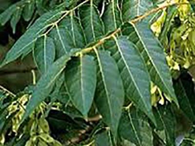 Copal tree.