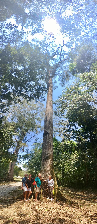 Ceiba tree.
