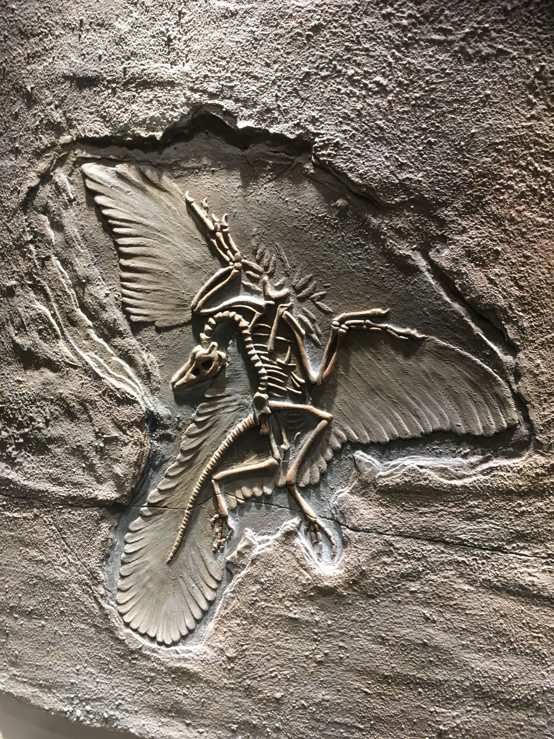 The oldest bird genus found to date, from the Late Jurassic (150 million years ago), from the exhibition of the Chicxulub meteorite.