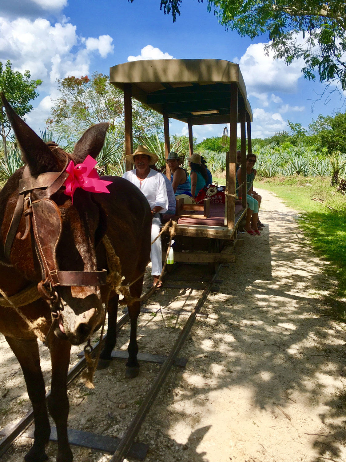 Don Alfredo driving our mule.