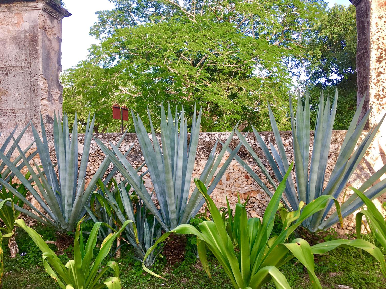 Henequén plants in the front garden.