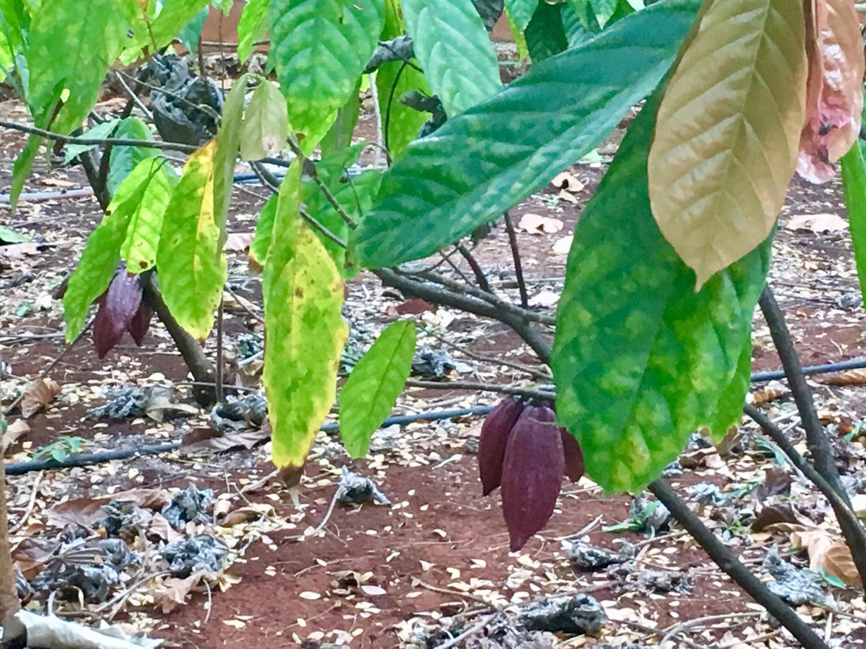 Cocoa tree.