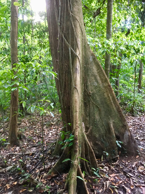 Ceiba tree (kapok), the Maya sacred tree of life.