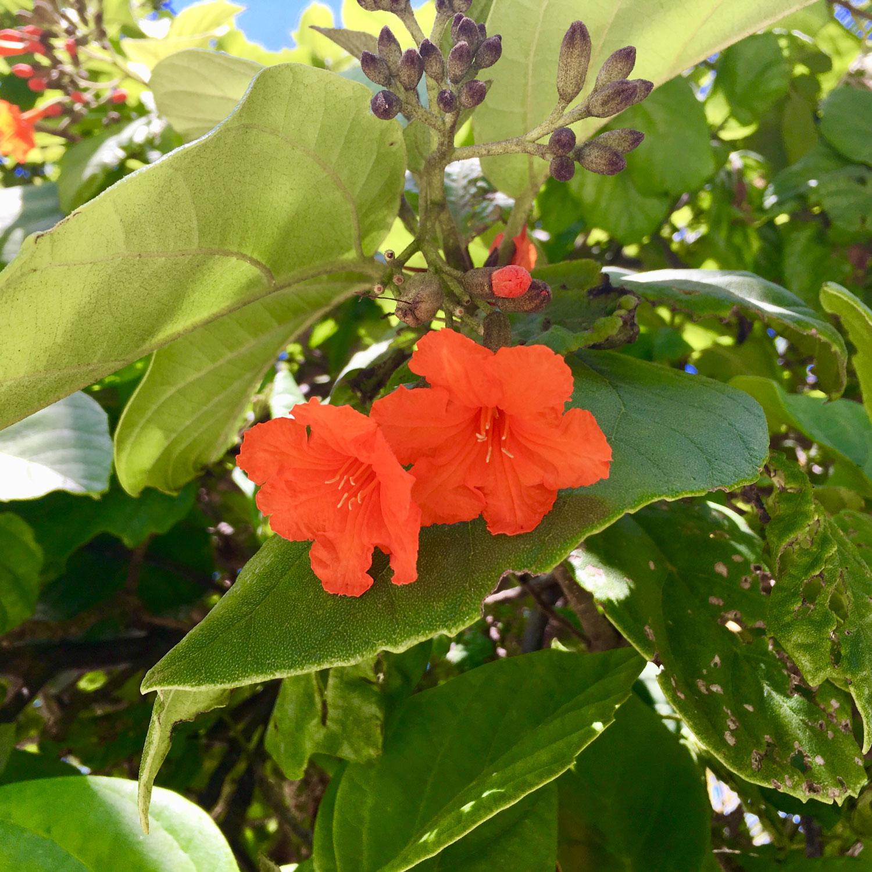 Cordia cuneata, or hibiscus?