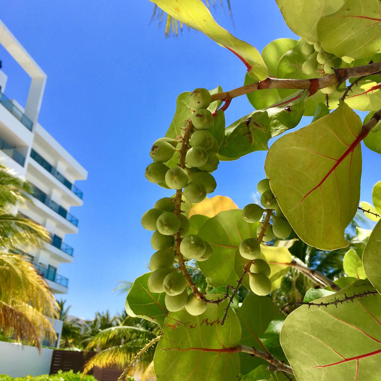 Sea grape (coccoloba uvifera).